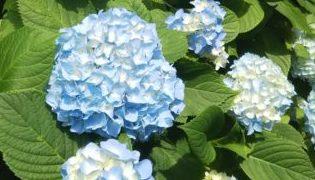 色づき始めた青い紫陽花