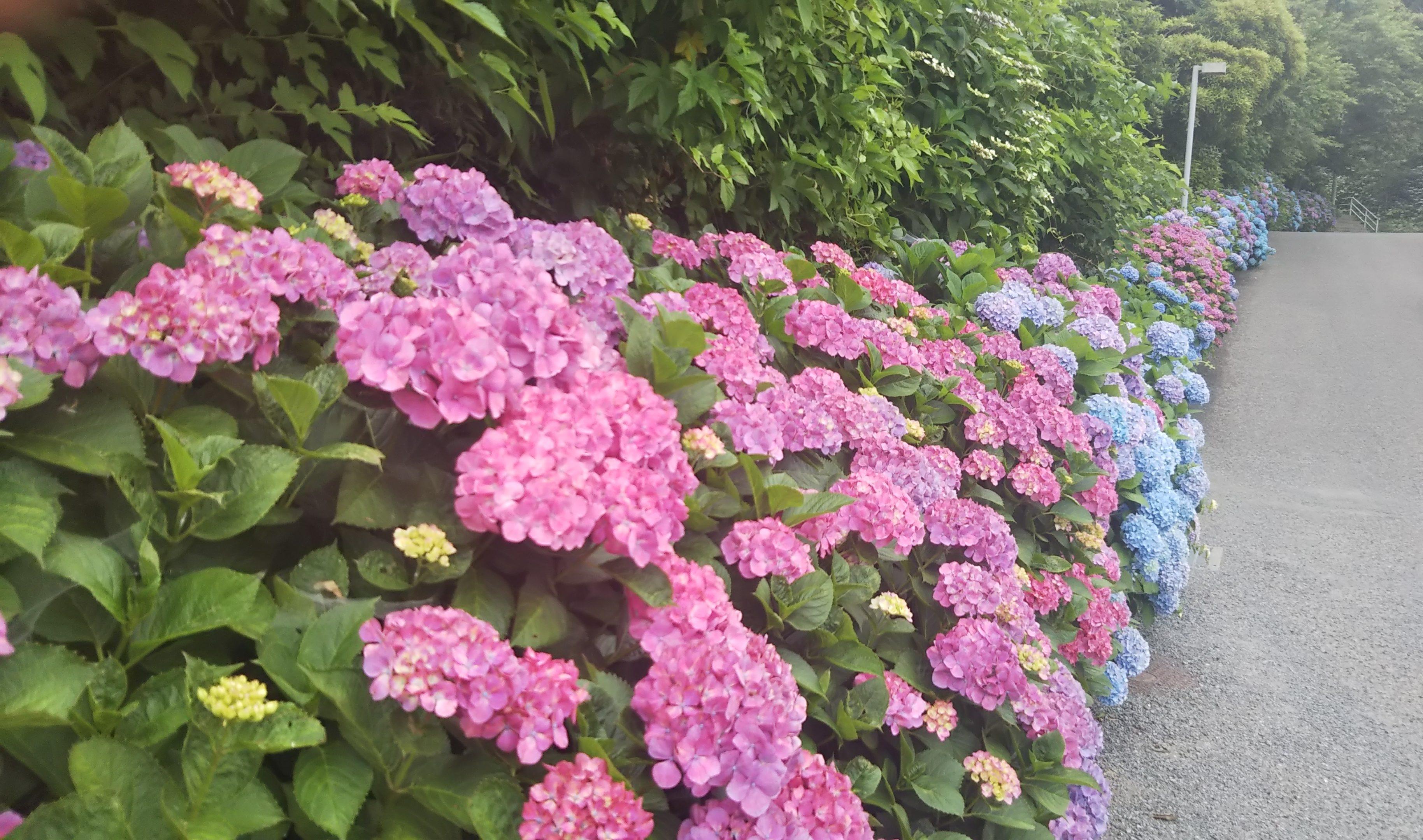 赤と青の紫陽花の小路