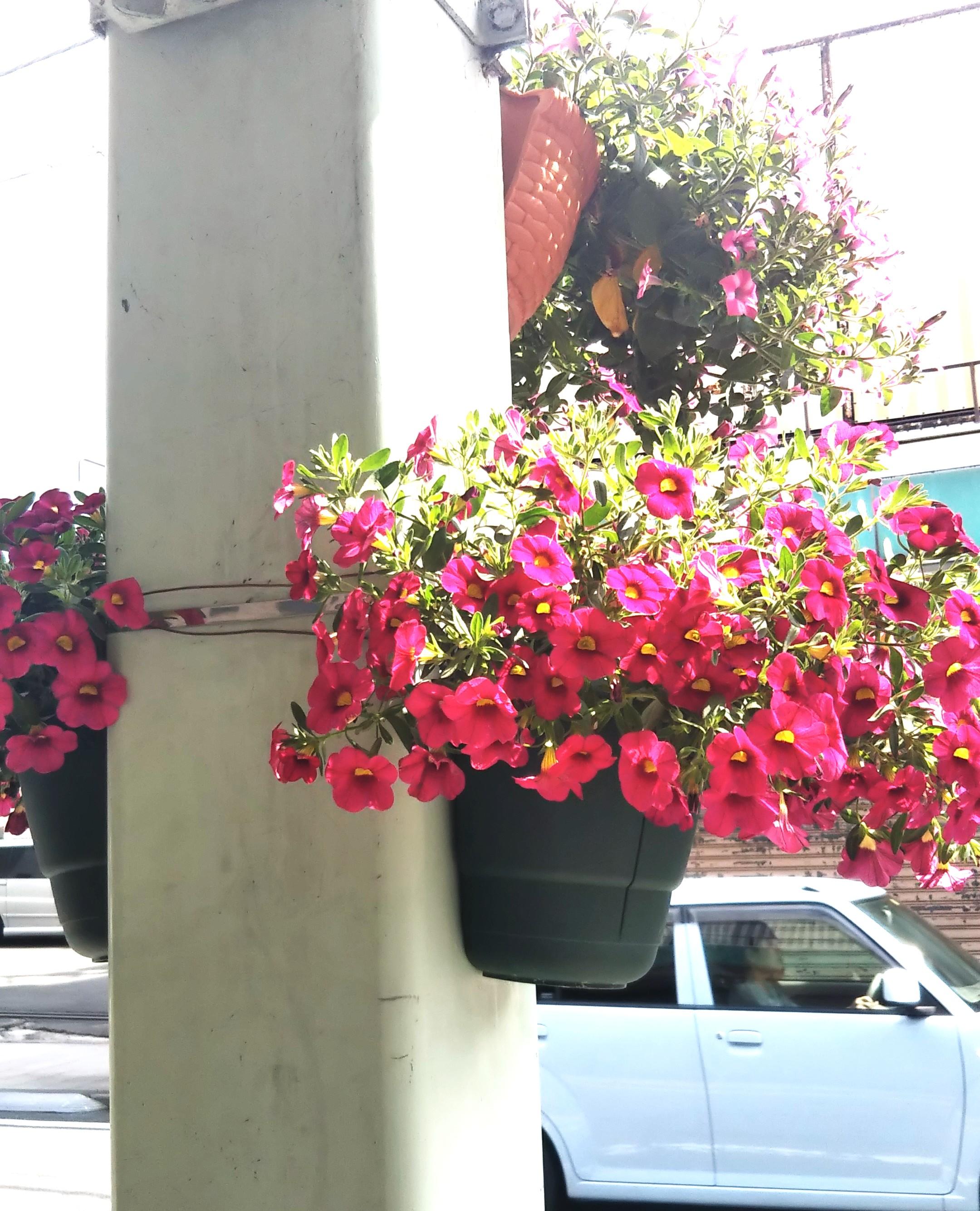 富士宮の街をお花が彩る
