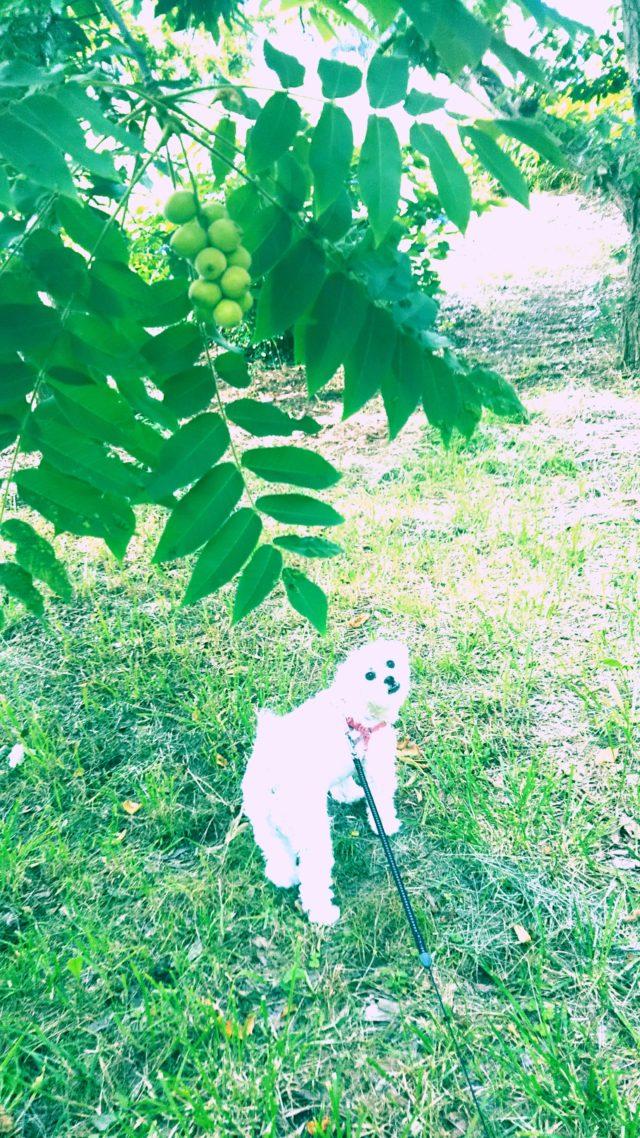 青胡桃と白い犬