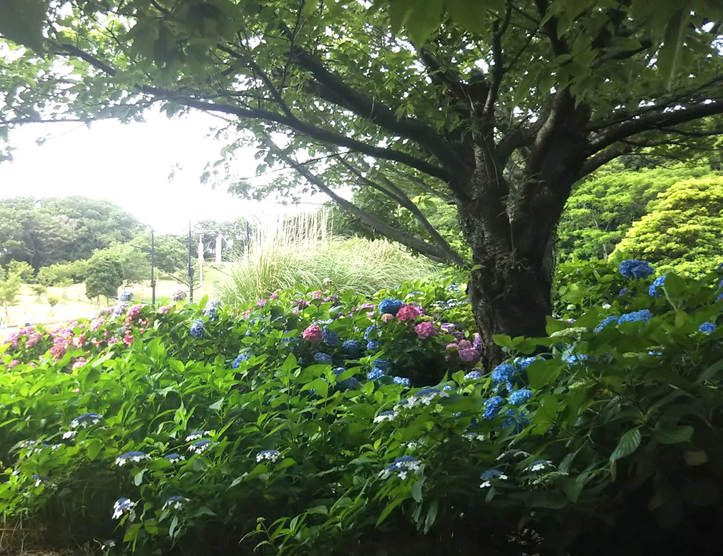 花の広場の紫陽花