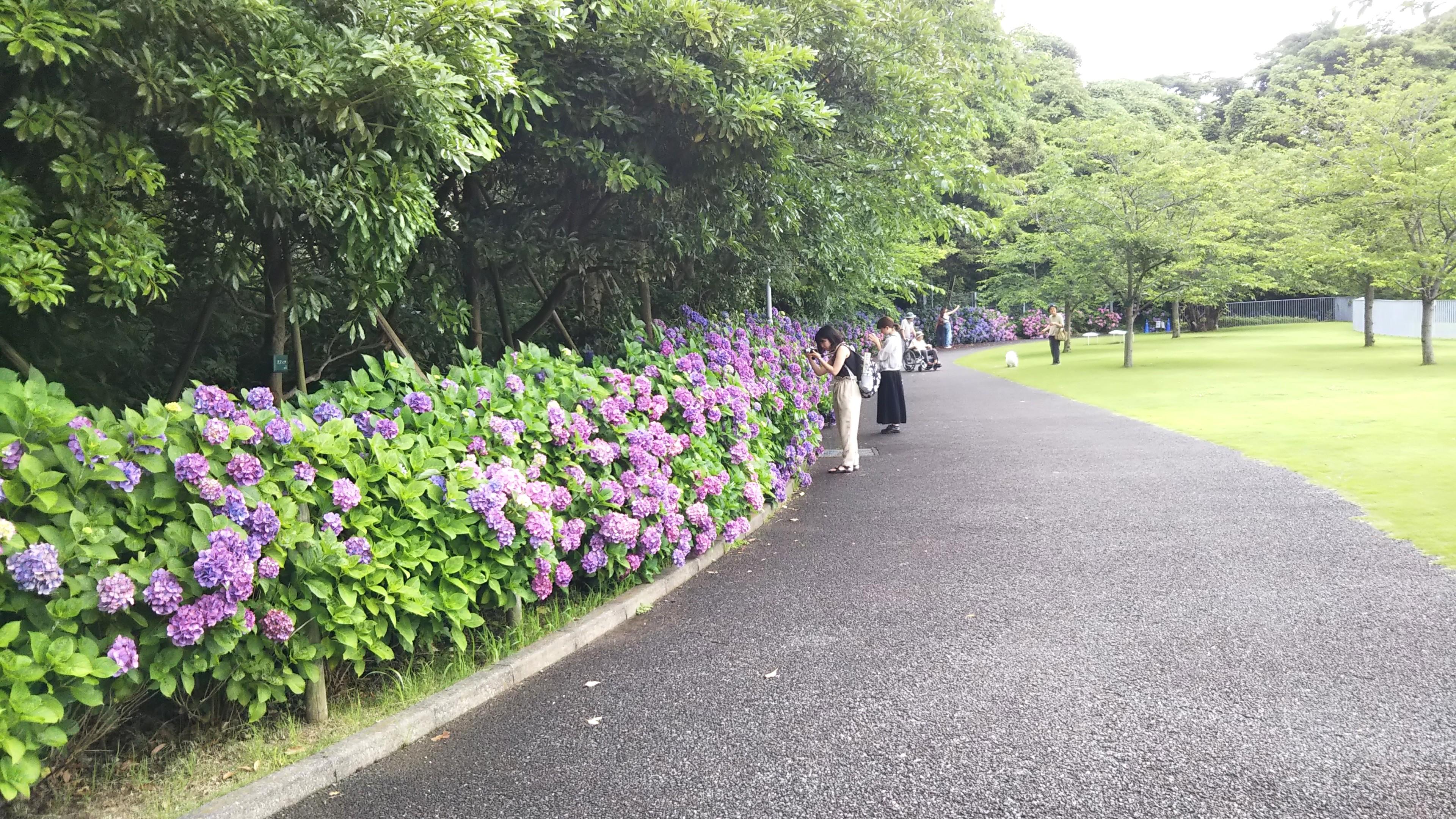 美術館の山側の小路のアジサイは青から紫へ