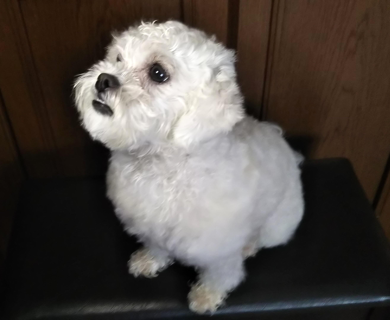 愛犬のペキプー