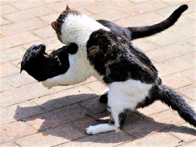 猫のお相撲
