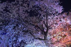 夜桜花万朶